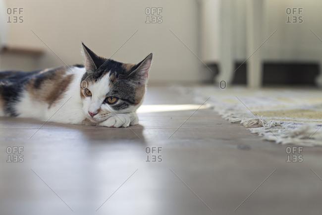 Cat resting on the floor