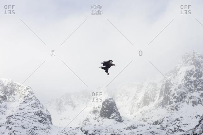 White tailed eagle in Lofoten, Norway