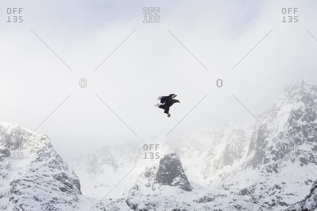 White tailed eagle in Lofoten, Norway