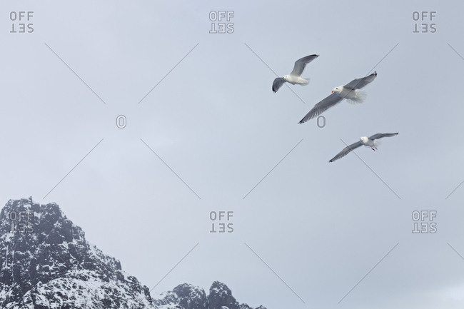 Seagulls soaring over coastal mountains in Lofoten, Norway