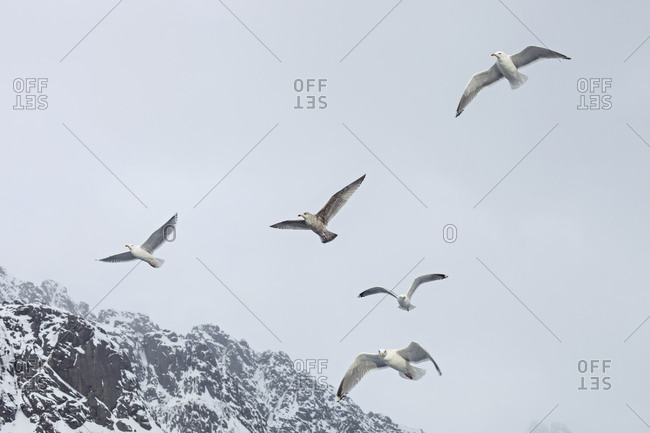 Seagulls flying near coastal mountains in Lofoten, Norway