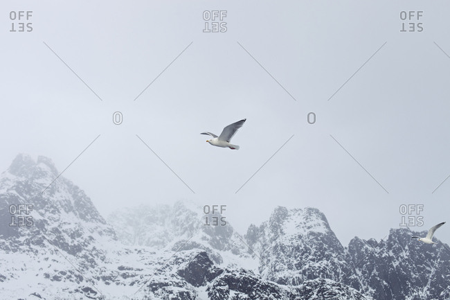 Solitary seagull soaring over coastal mountains in Lofoten, Norway