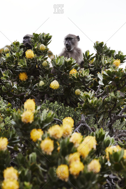 Monkeys on flowering tree - Offset