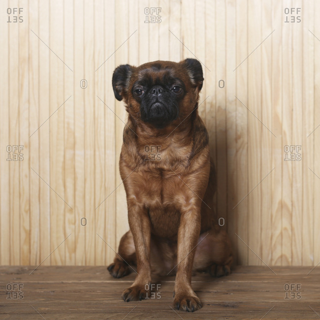 Full length portrait of Brussels Griffon in front of wooden wall