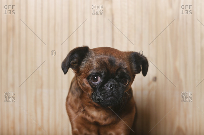 Portrait of coy looking Brussels Griffon in front of wooden wall