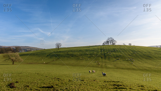 Idyllic pastoral landscape of green field and grazing sheep
