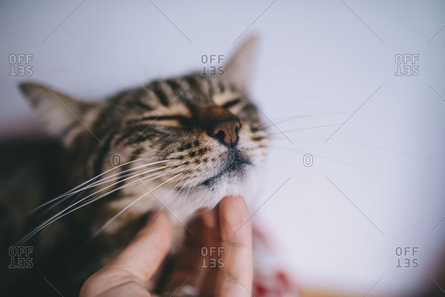 Woman's hand petting a cute tabby cat at home
