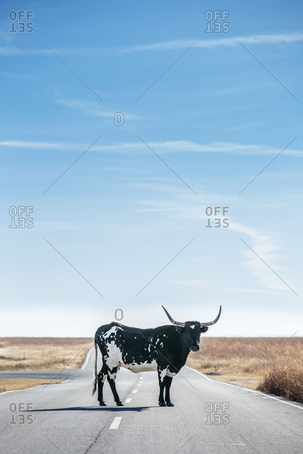 Texas Longhorn cow standing in middle of road