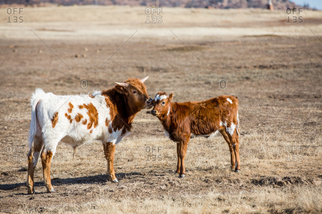 Texas Longhorn cow nuzzling her calf