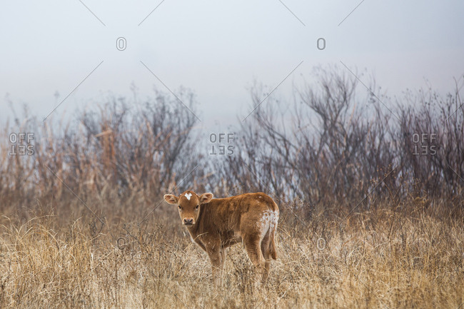 Solitary Texas Longhorn calf standing in a field