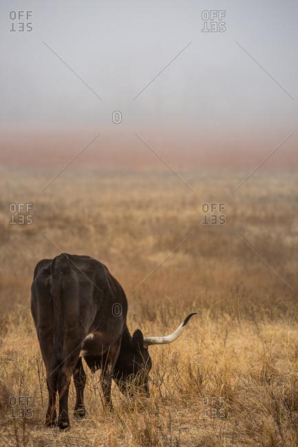 Texas Longhorn cos feeding in the mist