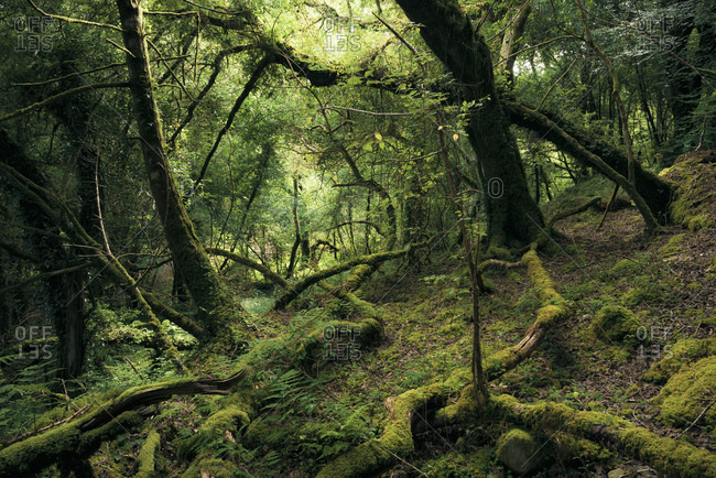 Primeval forest in mystical light at Bantry Bay, Cork, Ireland