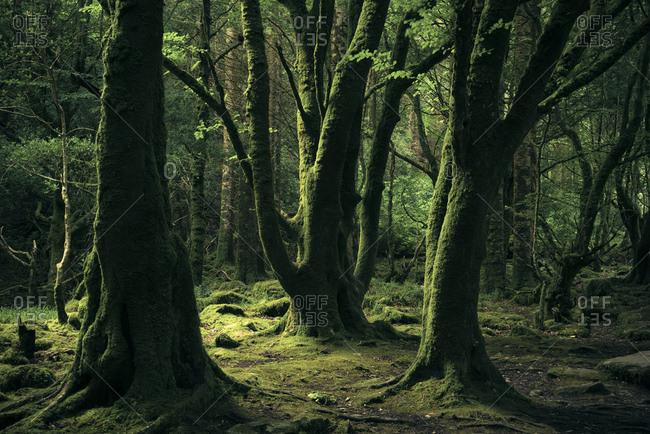 Old beech trees in Killarney National Park, Kerry, Ireland