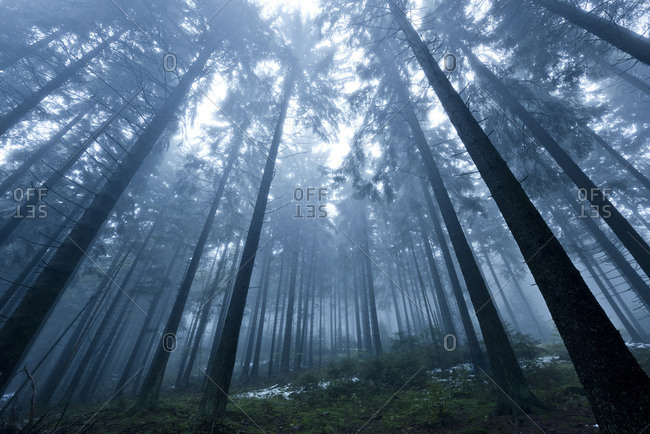 Low angle view of trees in the Boubin primeval forest in the Czech Republic in autumn fog
