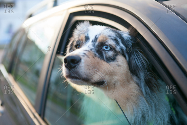Blue eyed dog looking out from car window, portrait