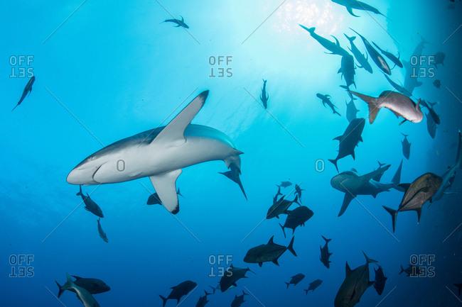 Sharks swimming in sea, Socorro, Baja California