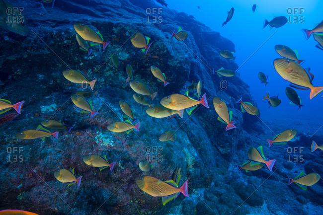 School of yellow fish swimming by seabed rocks, Socorro, Baja California, Mexico