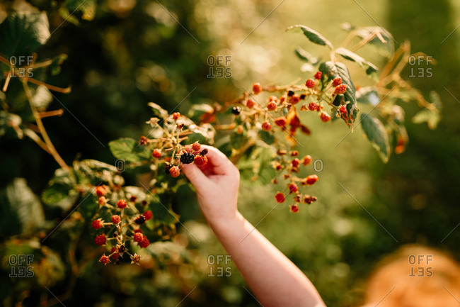Small child's hand picking blackberries on a sunny day