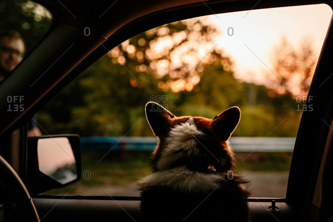 Dog watching sunset out car window