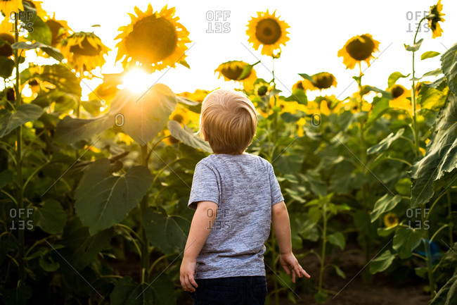 Toddler looking up at sunset through sunflowers