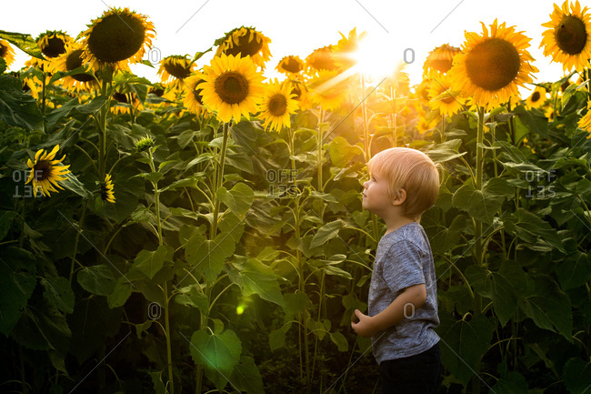 Young boy standing in field of sunflowers at dusk