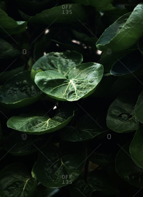Green leaves of tropical plant