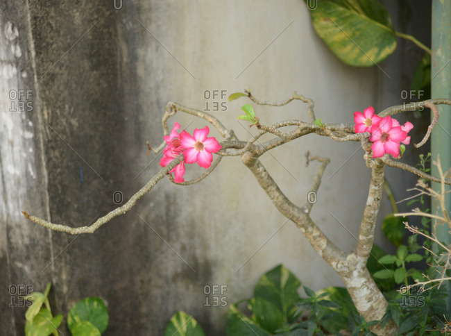 Tropical pink flowers blooming on tree