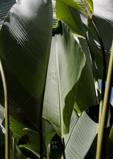 Large green leaves of tropical plant