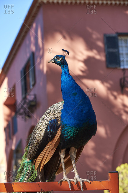 Peacock perched on an orange fence in Lisbon, Portugal