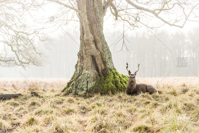A wild stag laying under a tree and looking straight at the camera in the Klampenborg Forest in Denmark