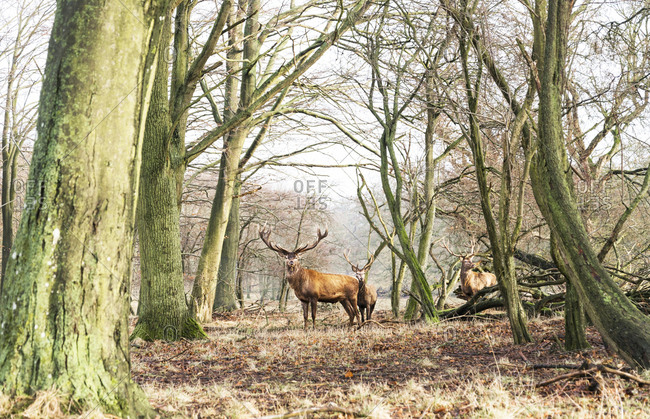 Wild stags looking towards the camera as they stand amongst trees in the Klampenborg Forest, Denmark