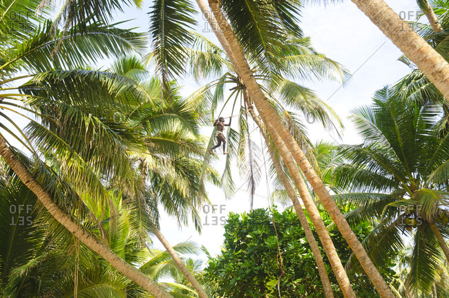 January 2, 2011: A man walks across a rope high in the palm tree canopy to collect coconuts to sell. Induruwa, Sri Lanka