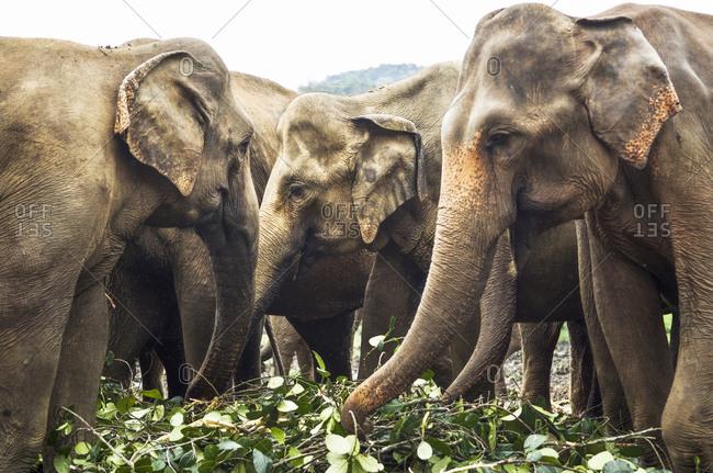 A herd of Elephants grazing on leaves. Sri Lanka