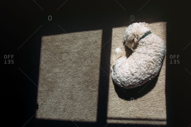 Little white dog curled up sleeping on the floor in the sunlight