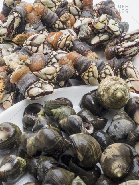 Close-up of fresh goose barnacles and common periwinkle