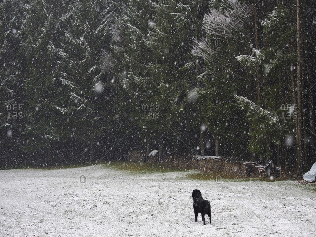 Rear view of dog standing on snow covered field with forest in the background, Middle Black Forest, Elzach-Yach, Baden-Wurttemberg, Germany.