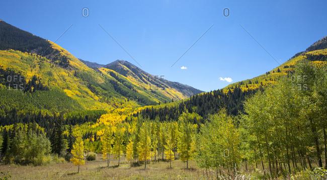 Golden Aspens in Fall