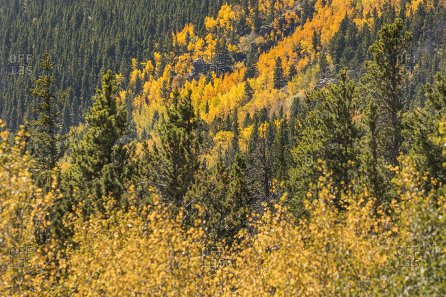 Golden Fall in Colorado II