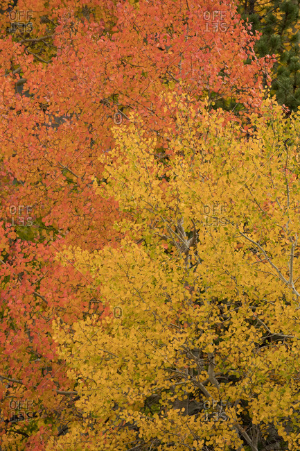 Aspens in the West