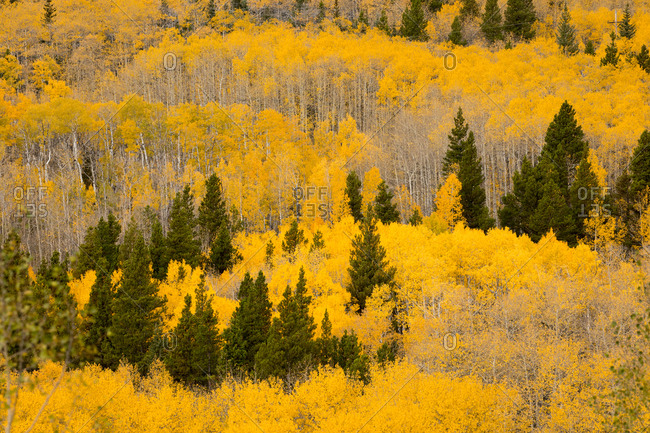 Patch of Aspens - Offset Collection