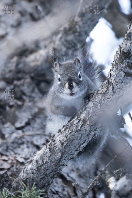 Gray Squirrel in Forest II