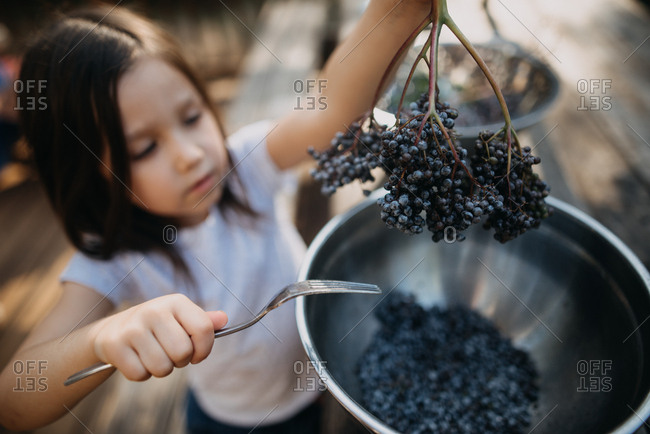 Young girl harvesting elderberries from a twig with a fork