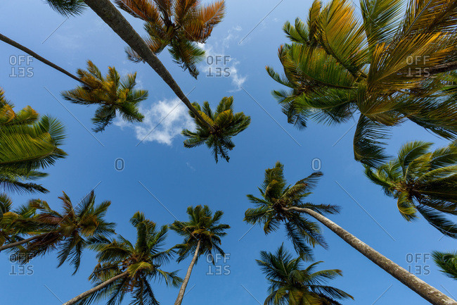 Looking up at tall palms on the small beach at Marigot Bay, St. Lucia, Windward Islands, West Indies Caribbean, Central America