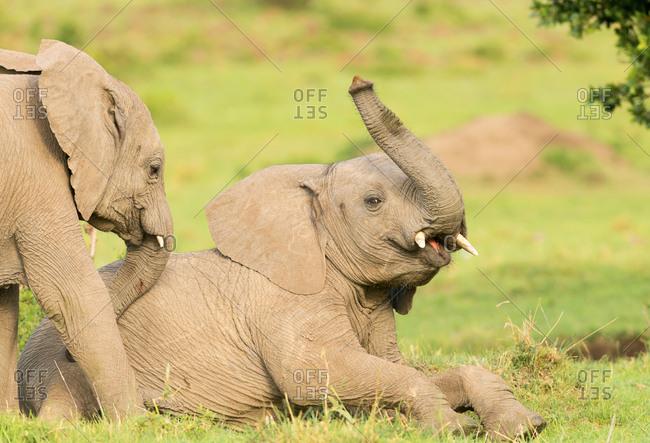 Elephant calves playing in the Masai Mara, Kenya, East Africa, Africa