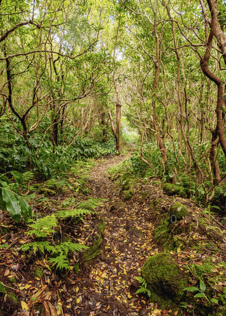 Forest on the slopes of Pico Alto, Santa Maria Island, Azores, Portugal, Atlantic, Europe