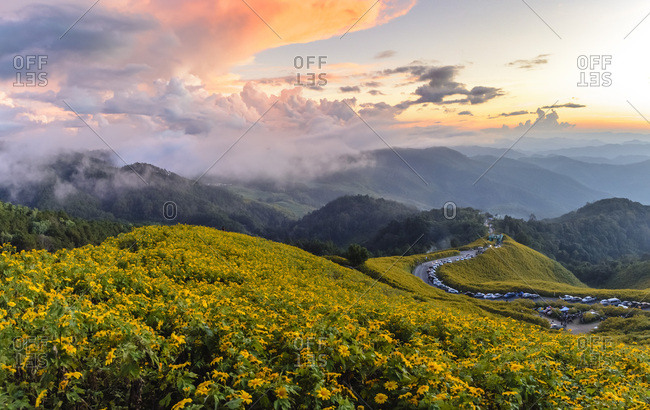 Dramatic sunset and fields of yellow Mexican sunflowers in bloom across hillsides in Mae Hong Son Province, Northern Thailand, Southeast Asia, Asia