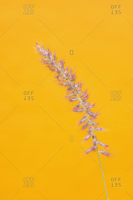 Close up of grass on yellow background