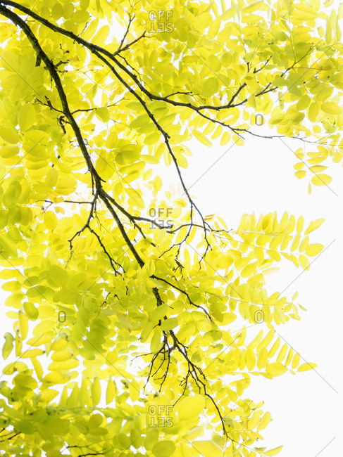 Tree with yellow leaves in sunlight