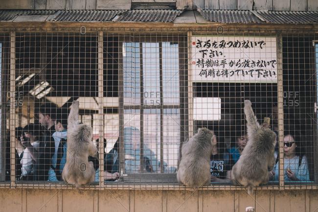 Kyoto, Japan - March 13, 2018: Japanese Macaques peering in at visitors inside wooden enclosure at Iwatayama Monkey Park
