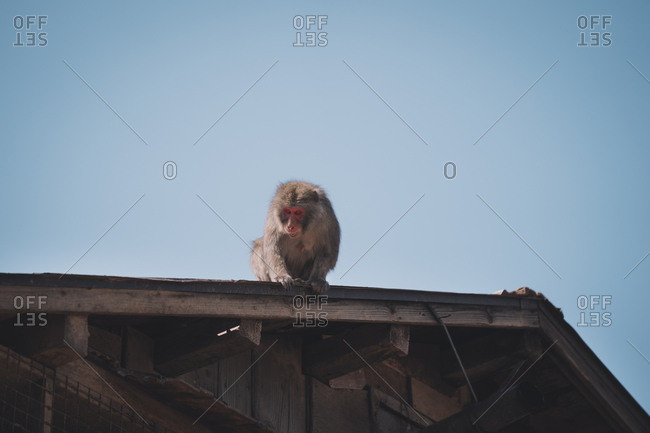 Japanese Macaque on rooftop baring teeth at passerby below